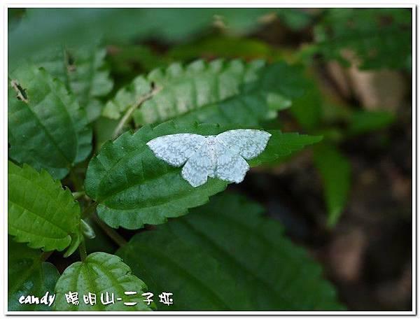 2-(鉤蛾科)波帶白 鉤蛾