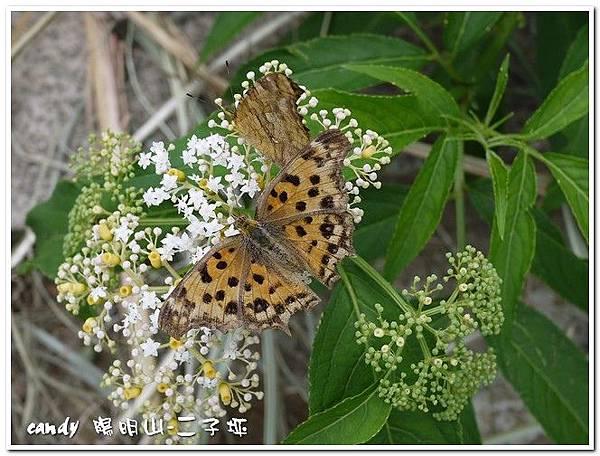 29-(蛺蝶科)黃蛺蝶
