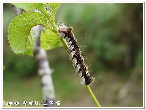 38-(隆蛾科)鑲夜蛾的幼蟲