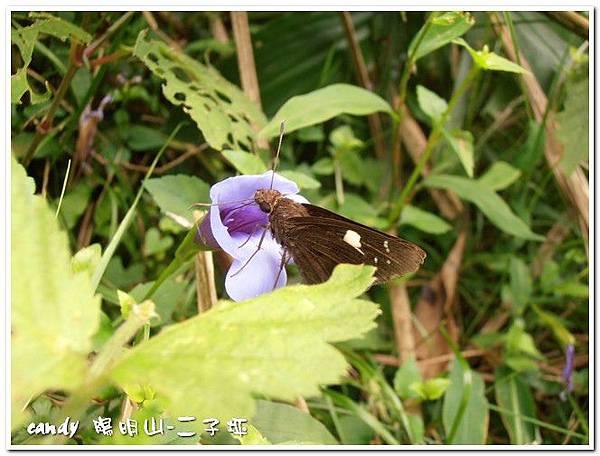 52-(弄蝶科)黑弄蝶