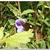(弄蝶科)黑弄蝶