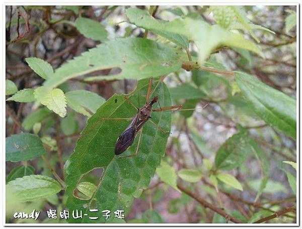 49-(獵椿象科)長刺素獵椿