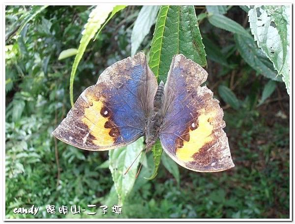48-(蛺蝶科) 枯葉蝶