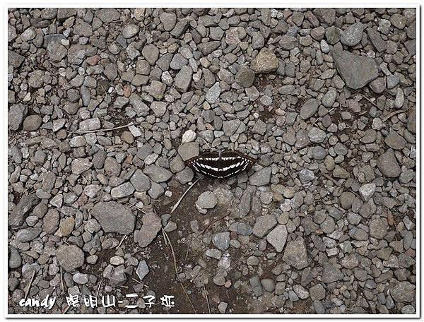 55-(蛺蝶科)三線蝶