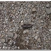 (蛺蝶科)三線蝶