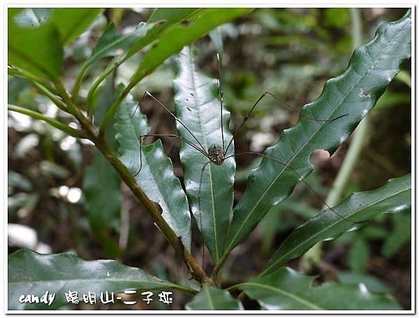 61-(盲蛛科)盲蛛(雌)