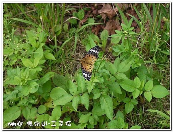44-(蛺蝶科)黑端豹斑蝶