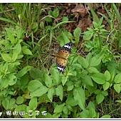 (蛺蝶科)黑端豹斑蝶