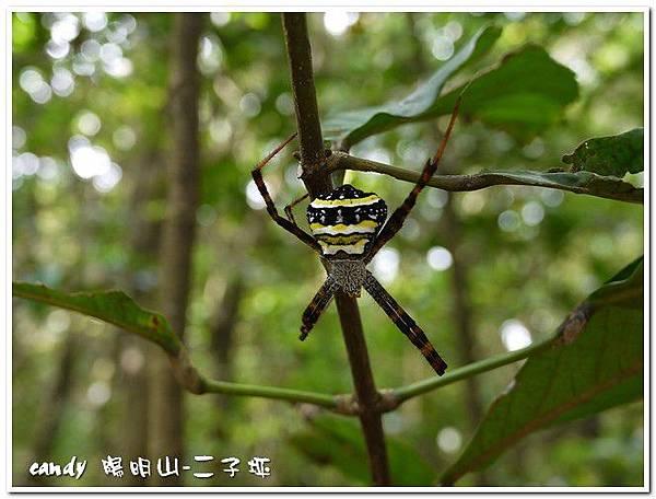 72-(金蛛科)中形金蛛