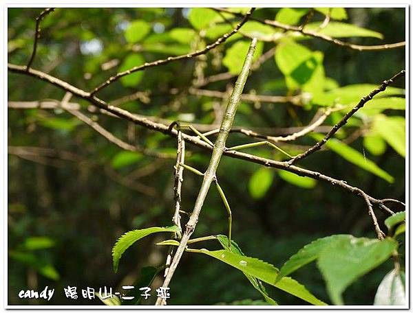 81-竹節蟲
