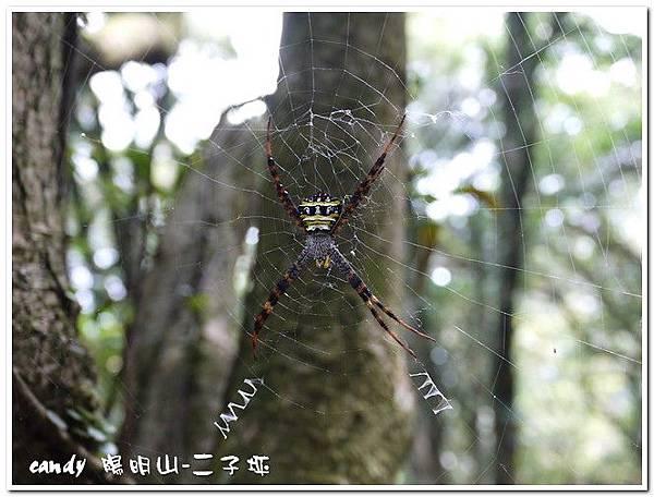 80-(金蛛科)中形金蛛