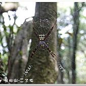 (金蛛科)中型金蛛,雌蛛體長13-17mm、雄5-6mm,頭胸部具銀白色長毛,腹背略呈五角形,黃色,背上有黑色的橫紋帶,中間及腹末的橫帶較寬,底色橙紅色內有黑、白的斑紋排列。