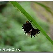 (鳳蝶科)紅紋鳳蝶的初蛹