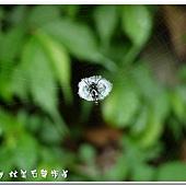 (金蛛科)長銀塵蛛的隱帶