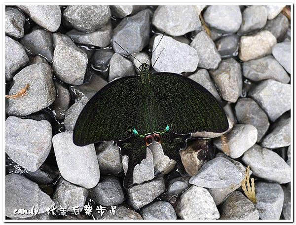 5-大琉璃紋鳳蝶