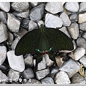 (鳳蝶科)大琉璃紋鳳蝶