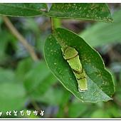 (鳳蝶科)黑鳳蝶幼蟲