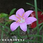 (石蒜科)韭蘭