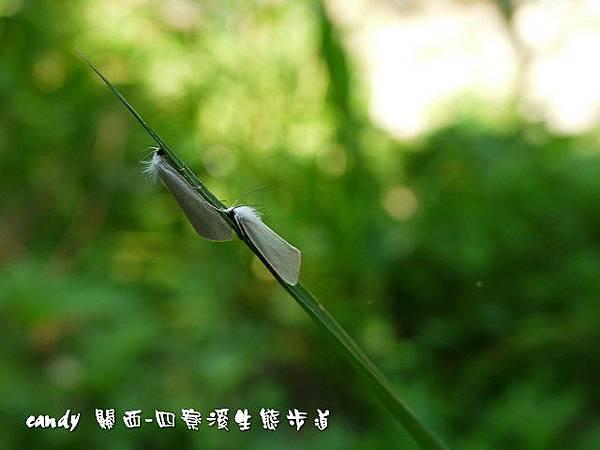 36-(草螟蛾科)甘蔗白禾螟蛾