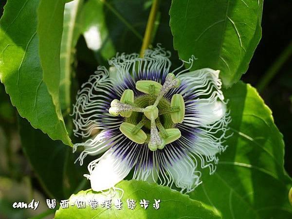 (西番蓮科)百香果的花