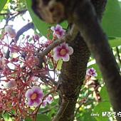 (酢漿草科)楊桃花,楊桃又稱洋桃、五斂子,是酢漿草科洋桃屬的常綠灌木或小喬木。