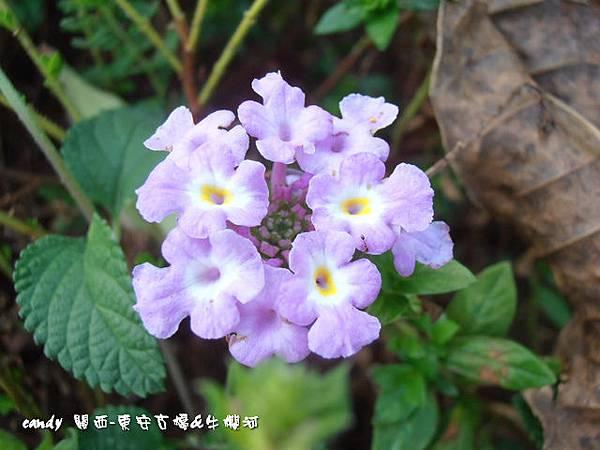 (馬鞭草科)蔓性紫花馬纓丹