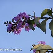 (千屈菜科)大花紫葳