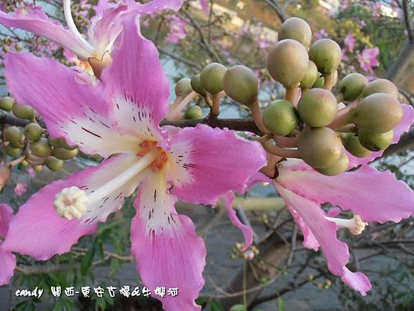 (木棉科)美人樹