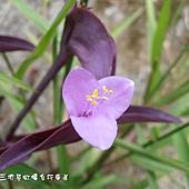 (鸭跖草科)紫錦草
