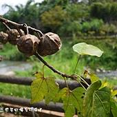 (大戟科)油桐花種子
