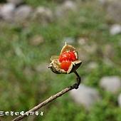 (海桐科)海桐種子