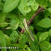 (蝗科)台灣稻蝗