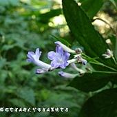 (爵床科)台灣馬藍