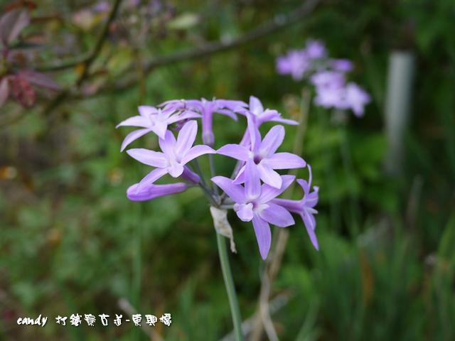 7-紫嬌花