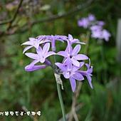 (石蒜科)紫嬌花