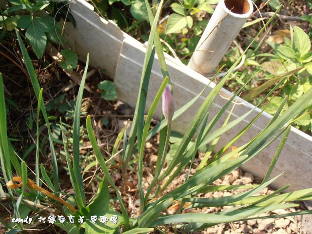 8-紫嬌花