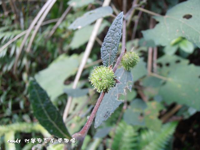 21-野棉花種子