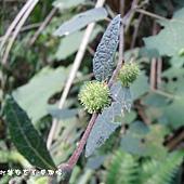 (錦葵科)野棉花種子