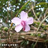 (錦葵科)野棉花