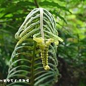 (金星蕨科)台灣圓腺蕨幼葉