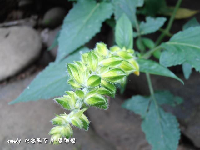 56-黃花鼠尾草