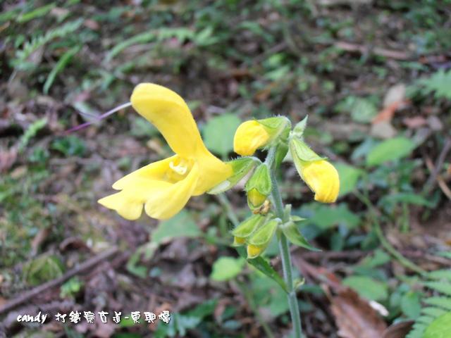 57-黃花鼠尾草