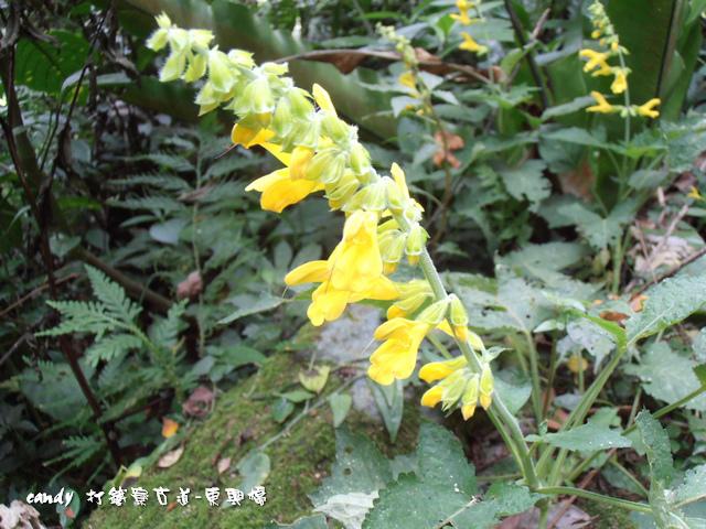 58-黃花鼠尾草