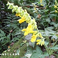 (唇形科)黃花鼠尾草
