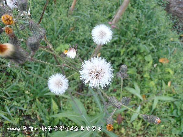 (菊科)紫背草