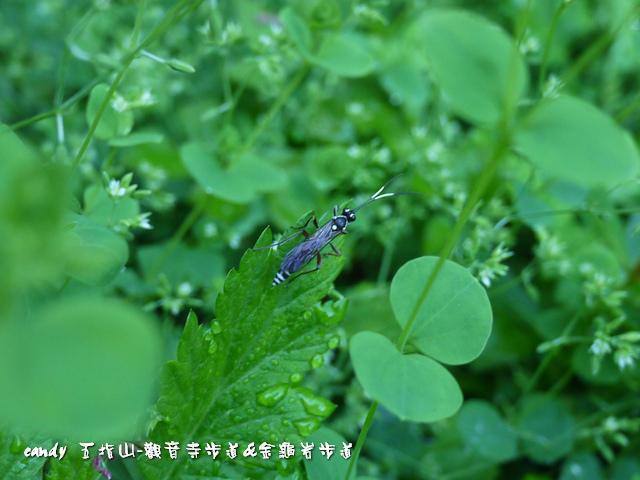 14-(姬蜂科)姬蜂
