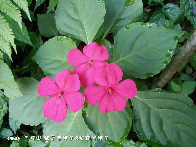 26-非洲鳳仙花