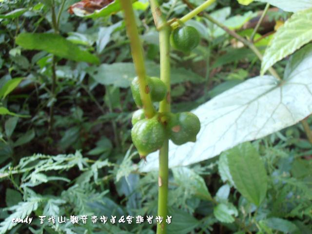 51-圓果秋海棠的果實