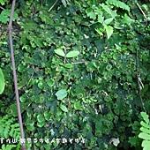 (地錢科)地錢,地錢門是苔蘚植物中的一門。和其他的苔蘚植物一樣,地錢門植物在其生命週期內主要以配子體的形態存在著。 地錢門預估約有6千至8千個物種