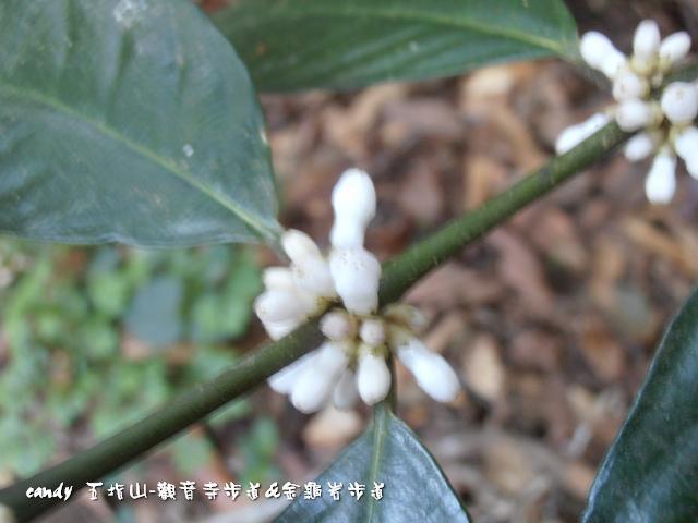 65-圓葉雞屎樹